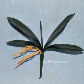 AX48 Листья орхидеи 5
